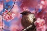 Hot Springs Historic District Sparrow in Cherry Blossoms 2018