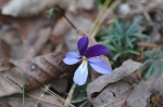 HSNP Floral Trail Bird's-Foot Violets