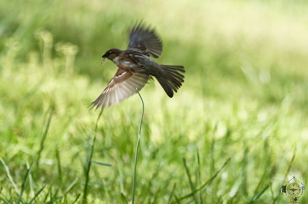 Sparrows in flight feeding in the spring meadow