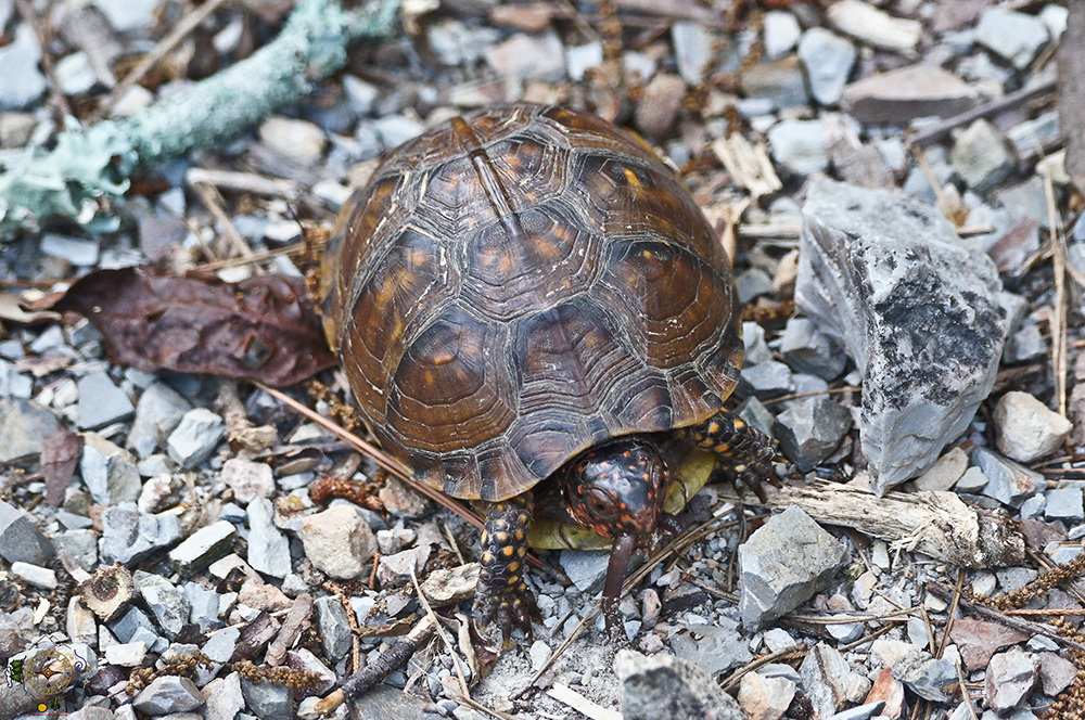 Ornate Box Turtle Firmly Grasping Breakfast