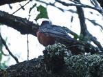 Big Robin