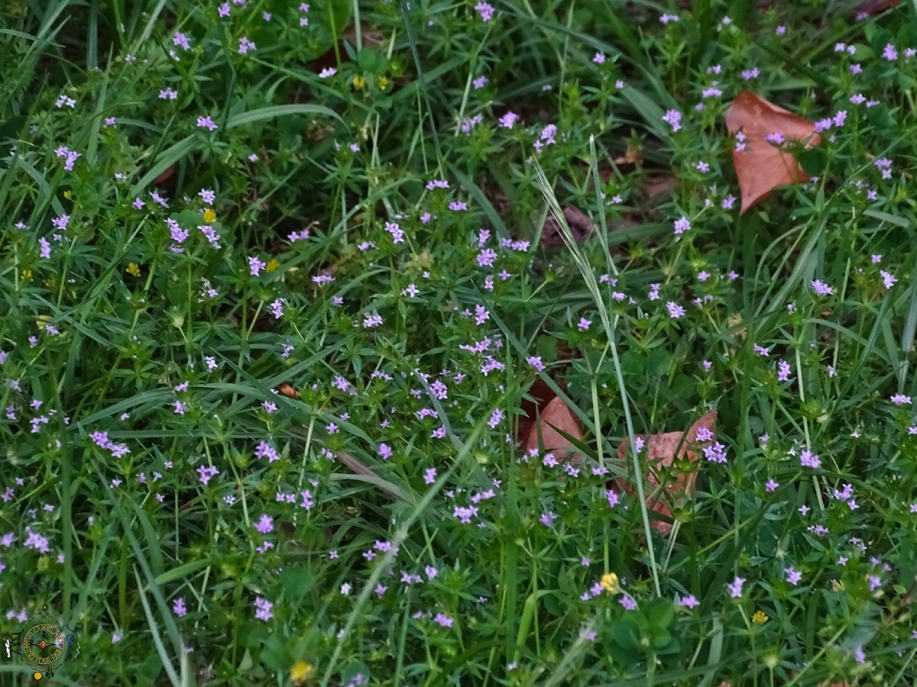 Filed Madder Wildflowers