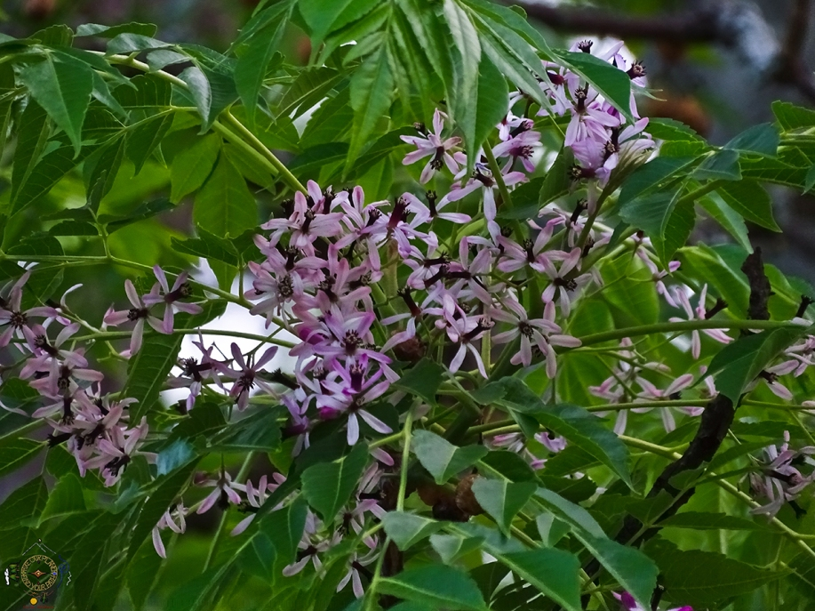 Chinaberry Tree Blossom